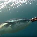 Video Pescasub Tonno: e Tu che Avresti Fatto?