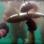 Video Pescasub: la Tripletta di Grossi Cefali