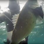 Video Pescasub: Incontra la Spigolona un attimo prima di uscire dall'acqua