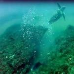 Video: Spara a un Pesce Balestra e punge accidentalmente una Tartaruga